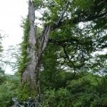 舟鼻峠近くの老木