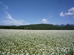 猿楽大地の蕎麦畑