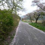 桜舞い散る東岸道路