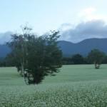 高杖の蕎麦畑