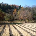 籾殻の畝と柿