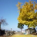 冨川の銀杏