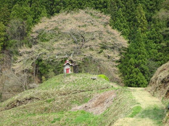 村松の熊野講の桜