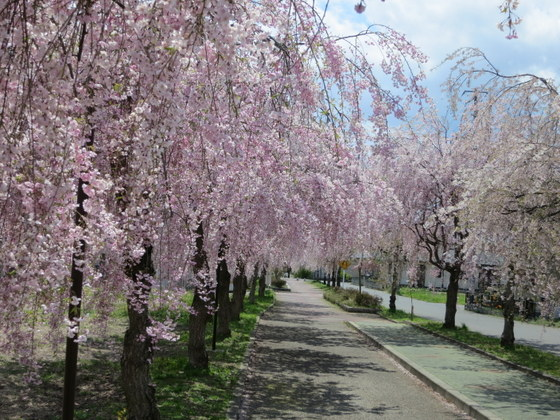 日中線跡のしだれ桜
