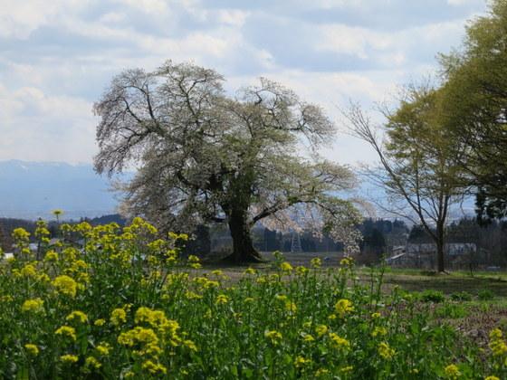 赤枝八幡神社の桜