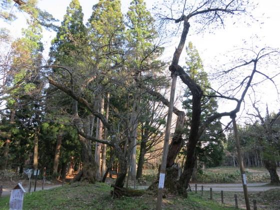 大鹿桜はまだ蕾