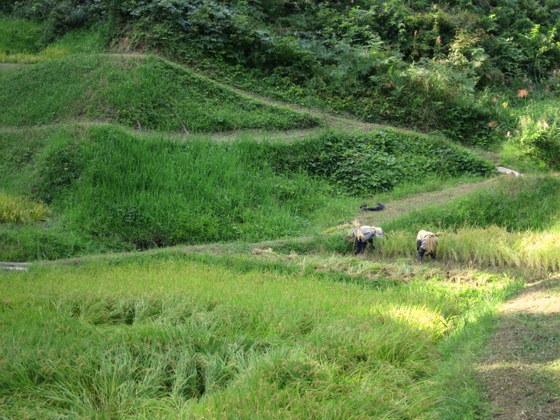 杉峠の稲刈り