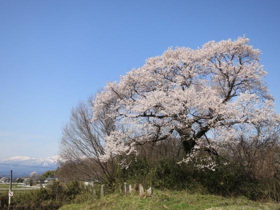 名もない桜