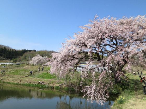 芳水の桜は見頃