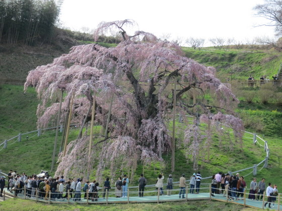 滝桜は5分咲き