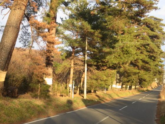 踏瀬の松並木