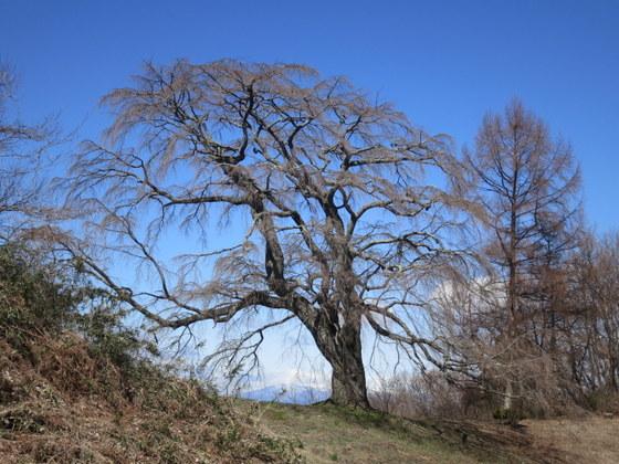五斗蒔田の桜と安達太良山