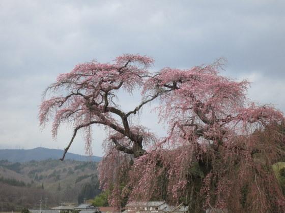 福島市平石小の桜
