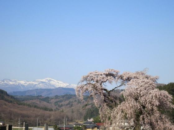 平石小の桜