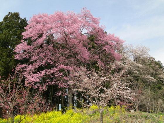 三渡神社の種蒔き桜