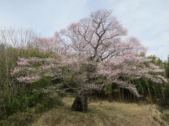 南成田の大桜