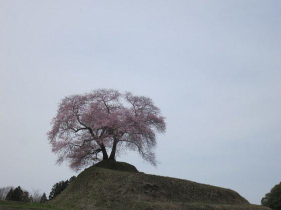平堂壇の桜