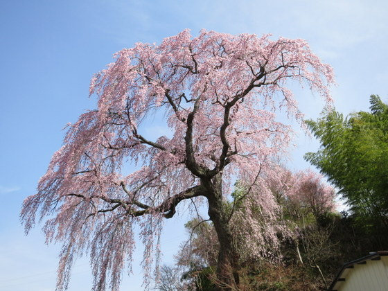 常楽院の桜