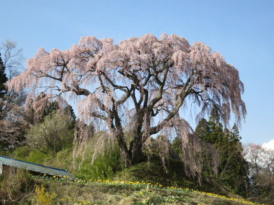 芹ケ沢の桜