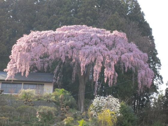 仲森の種蒔き桜