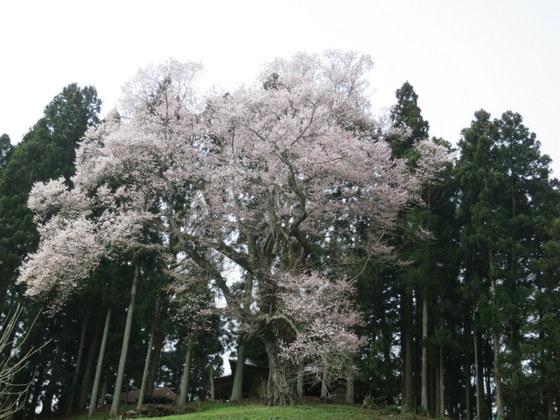 成田の種蒔き桜
