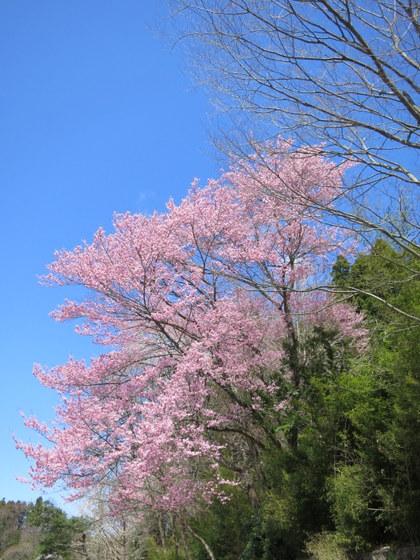 忠七桜近くの山桜