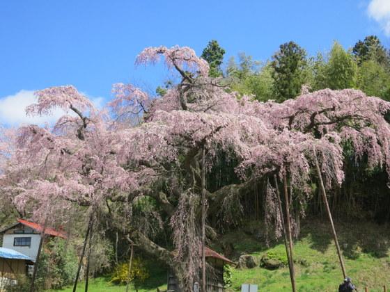 紅枝垂れ地蔵桜