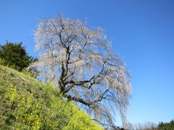 蛇塚盛の桜
