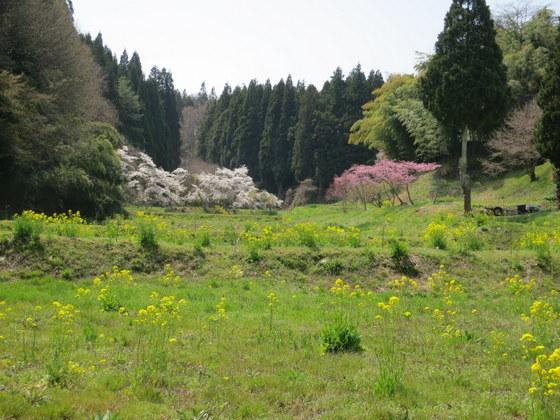 忠七桜付近