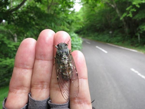 土湯旧道の標高1000mあたりは春蝉が大発生