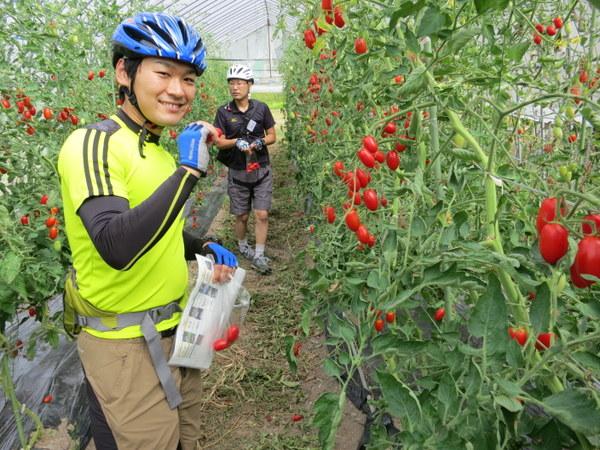 トマト収穫。これがホントにうまい。