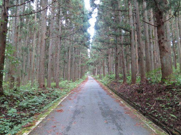 はじめは杉林の間を進む